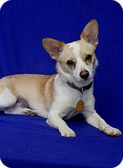 Wichita Ks Chihuahua Terrier Unknown Type Small Mix Meet