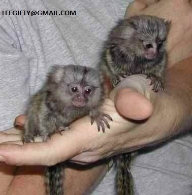 Bahrain, Manama - Animals, Animals/Pets, Dogs - Finger Baby Marmoset Monkeys for sale - Clsfyd