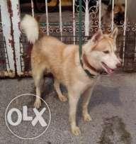 Good Quality Neat 2nd Heat Female Siberian Husky Pets For Sale