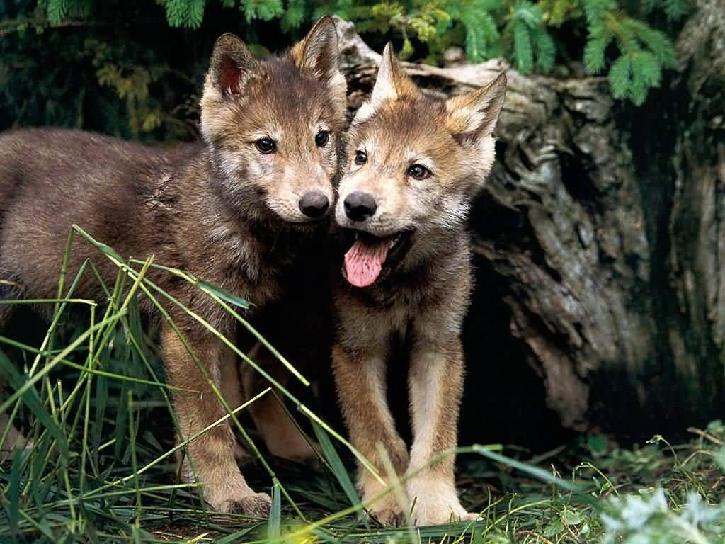 Wolf hybrid puppies for sale in ohio - Pictures Of Pups Yellowstone Wolf Pups Low Survival Rate Linked To Canine Distemper