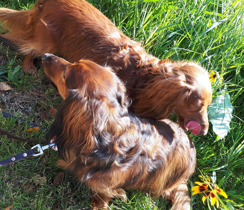 26sep18 Dachshund puppies, Dachshund lovers, Miniature