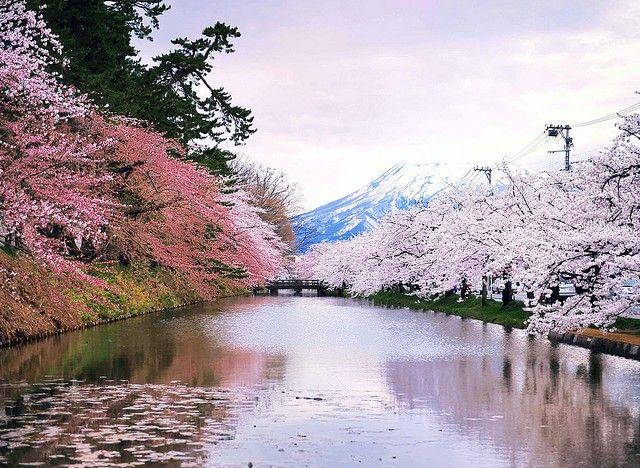 Hanami Paisaje Japon Flor De Cerezo Arbol De Cerezo