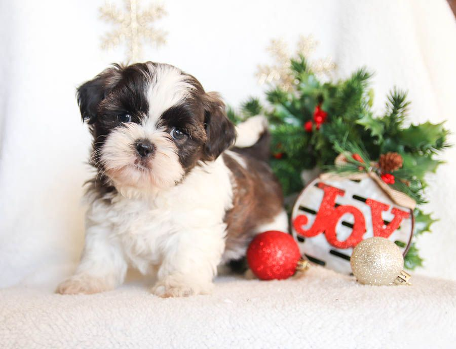 Pin By Teresa Russell On Pets In 2020 Shih Tzu Puppy Puppies For Sale Puppies