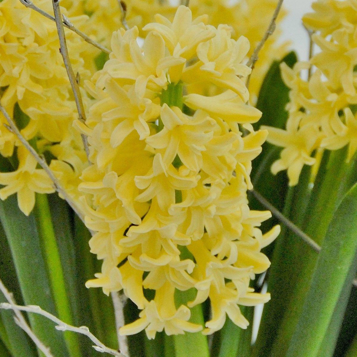 Hyacinthus Yellowstone - diese Hyazinthe blüht in einem seltenen zarten Gelbton. Sie lässt sich sehr gut mit anderen Zwiebelblumen kombinieren - Narzissen, Traubenhyazinthen, ... Pflanzzeit: Herbst. Online bestellbar bei www.fluwel.de