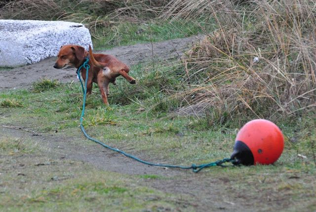 Dog peeing, with buoy.