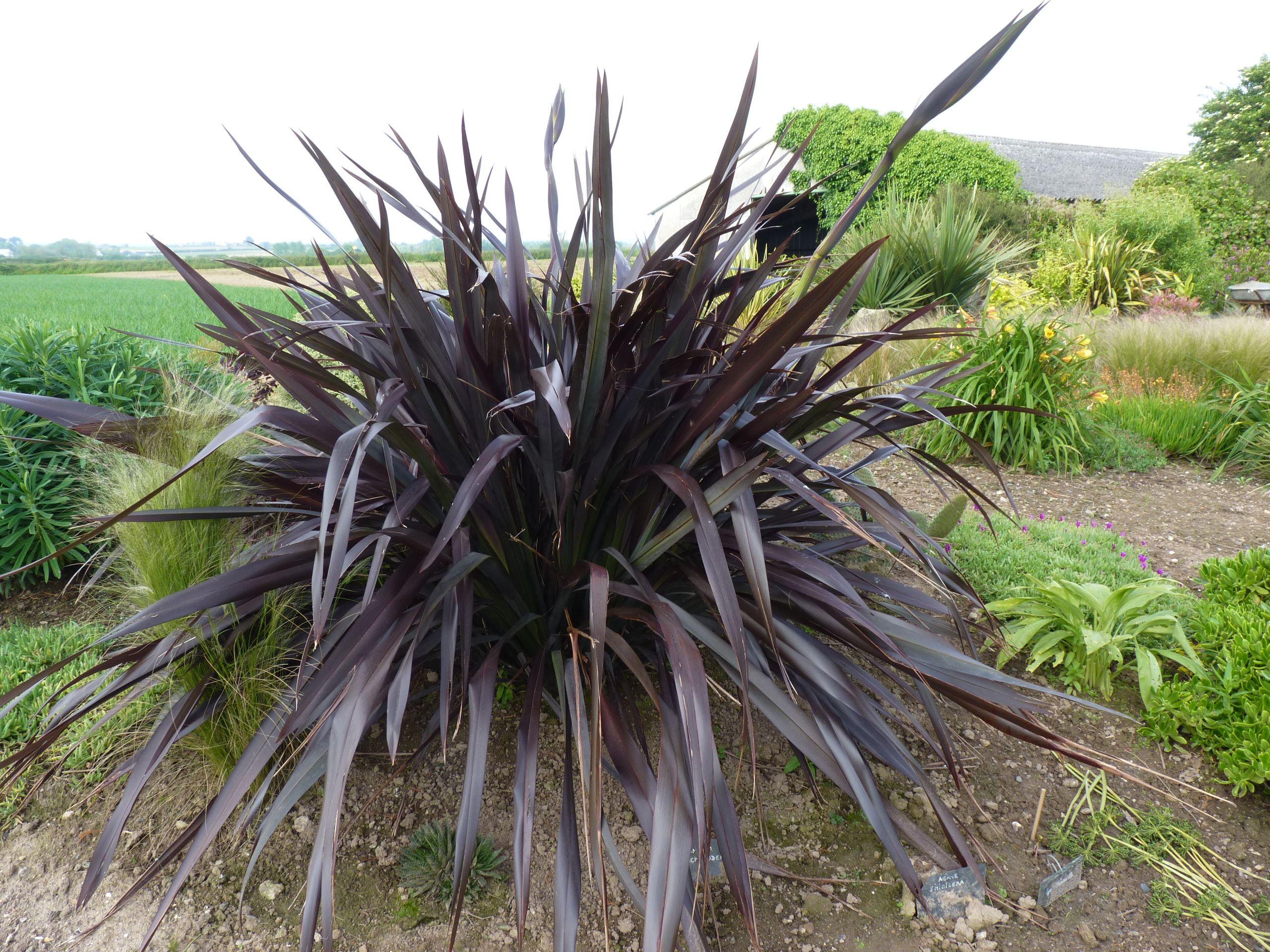 Platt S Black New Zealand Flax Phormium Platt S Black