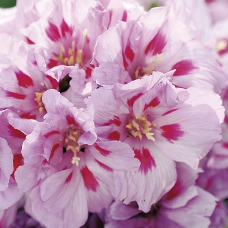 Godetia Sugarplum Seeds Sutton Seeds Easy Plants To Grow Flower Pictures