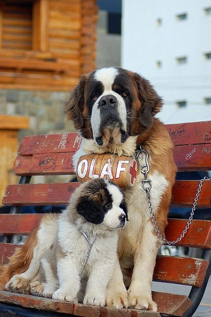 father and son St. Bernard Dog Photography Puppy Hounds Chiens Puppies