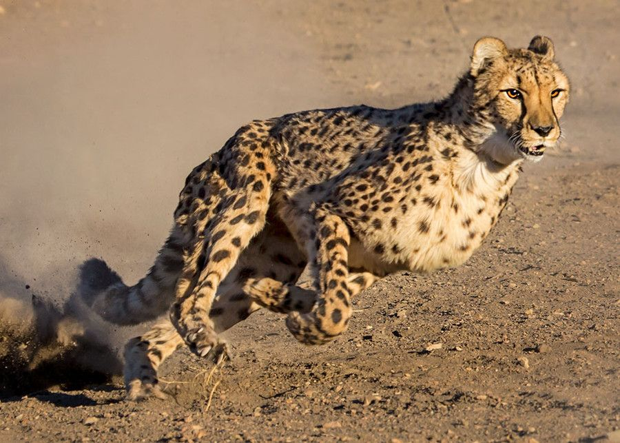 Cheetah Run 7 by Susan Koppel on 500px Animals beautiful
