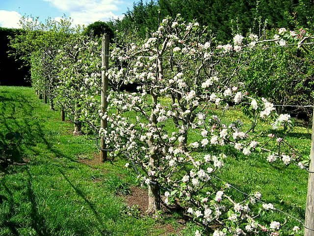Espalier Fruit Tree Pinterest Espalier