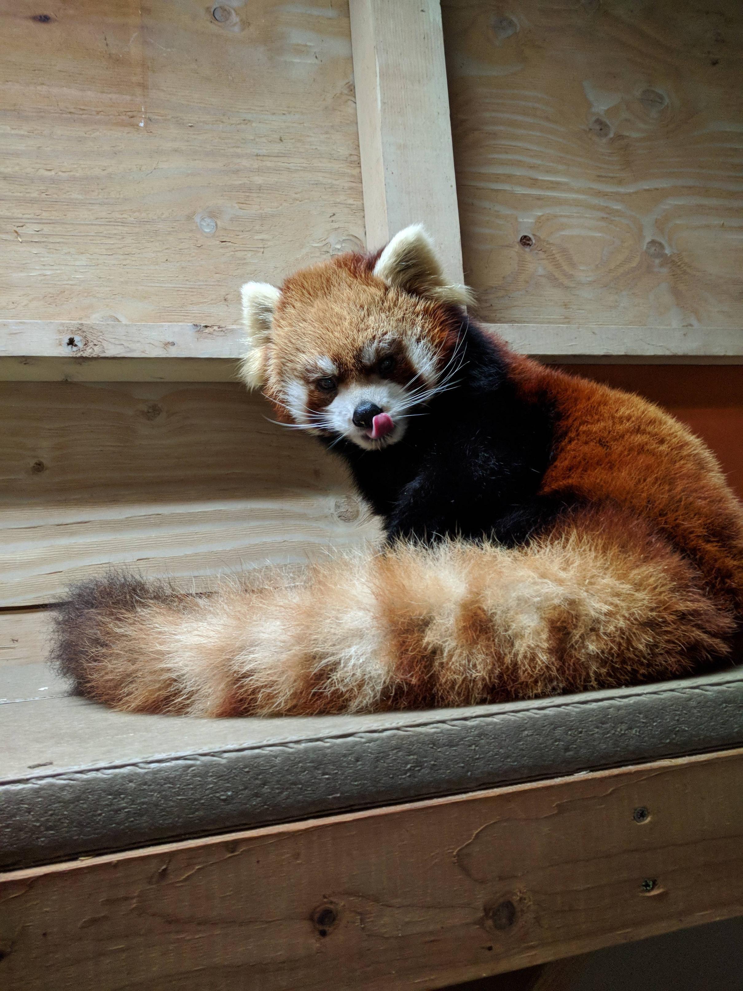 Please Follow Iloveredpandas Yukiko Woodland Park Zoo Seattle Wa Redpanda Panda Cutebear Bear Animal Firefox Panda Pandabear Panda Vermelho Panda