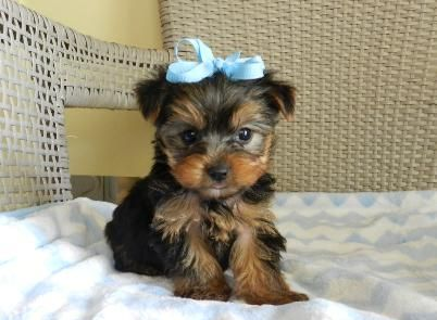 Teacup Yorkie Puppies For Sale, Toy yorkies, Maltese