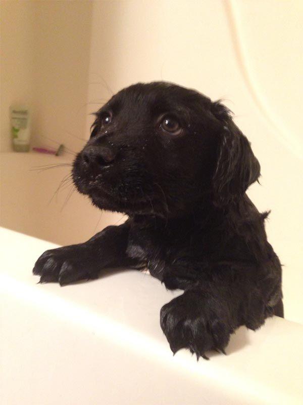 Cute Lab Puppy Getting A Bath Funny Dogs Cute Puppies Funny