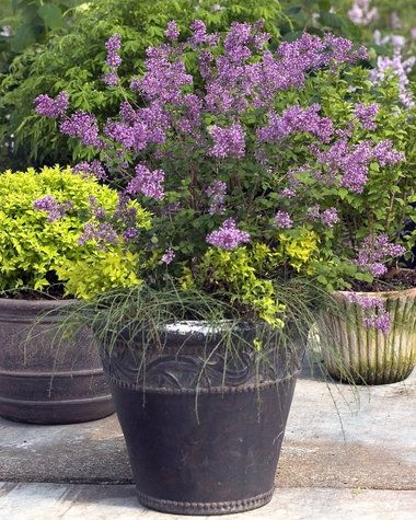 Flowering Shrub Hybrids Add To Gardeners Choices For Summer Bloomerang Lilac Lilac Bushes Plants