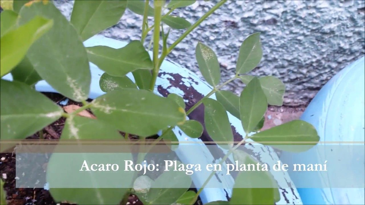 Ácaros Rojos- una plaga en la planta de maní | Agricultura ...