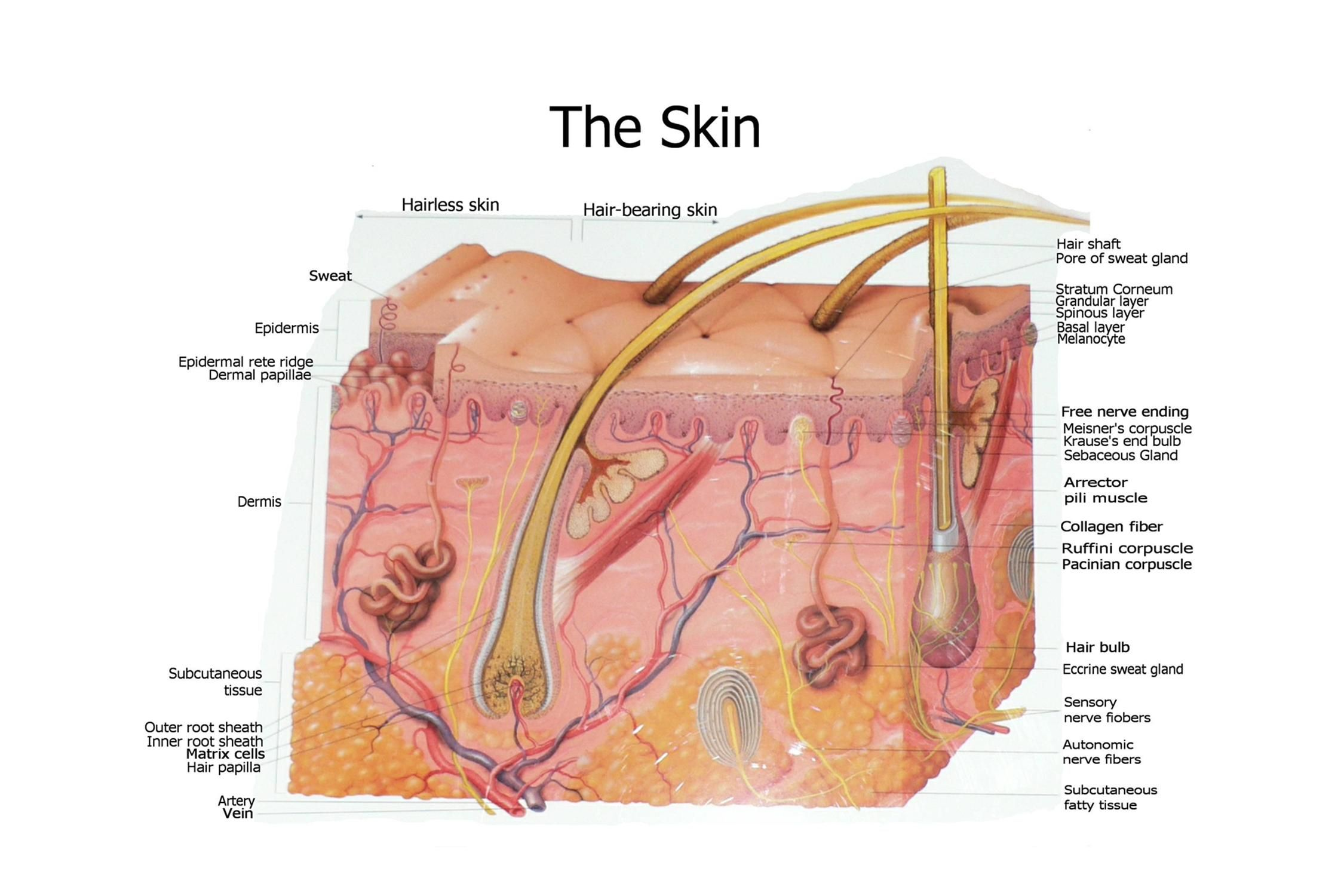 Unlabeled Diagram Integumentary System