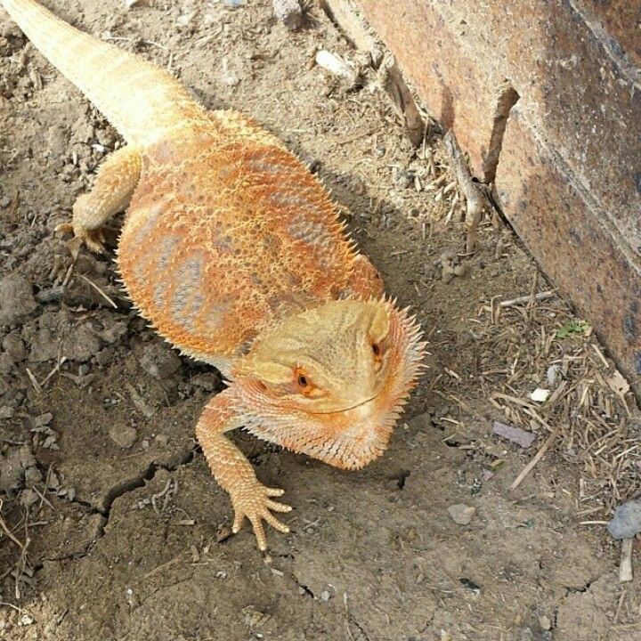 My Baby Uneasy Because Im Standing Over Him Beardeddragon - Majestic dragon lizard caught playing leaf guitar indonesia