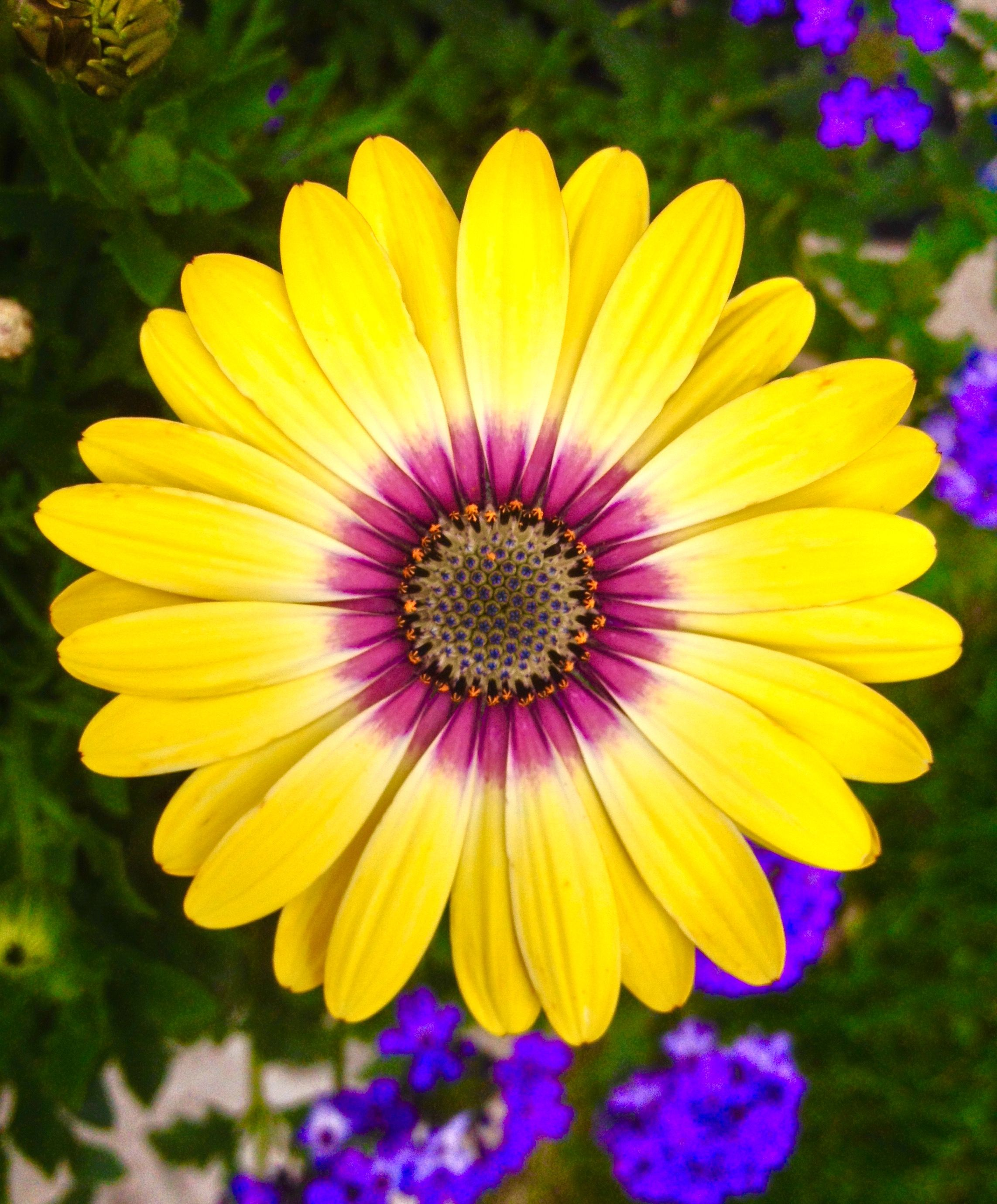 Yellow Daisy Flower With Purple Center | G A R D E N ...