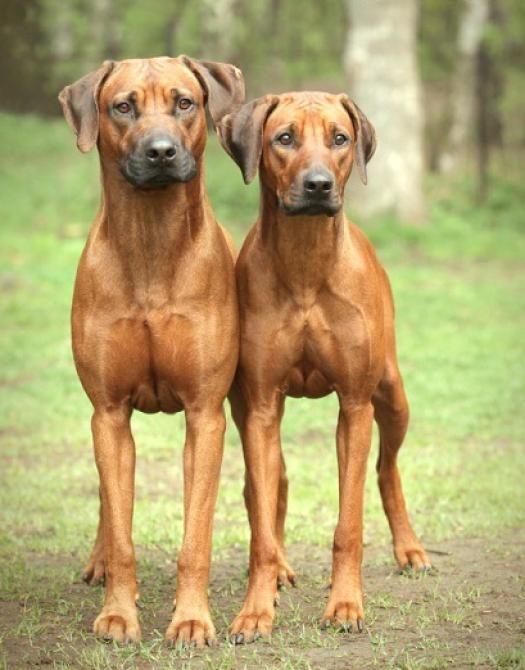 Phuket Buy And Sell For Sale 13 Pedigree Puppies Rhodesian Ridgeback Puppies Rhodesian Ridgeback Rhodesian Ridgeback Dog