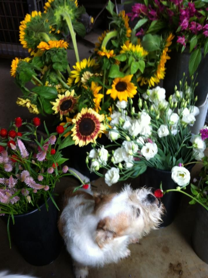 Cut Flowers at Barker's Farm in Stratham, NH.