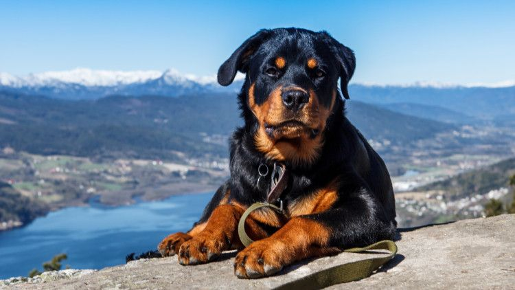 Facts Rottweiler Owners Know By Heart Rottweiler Dog Rottweiler