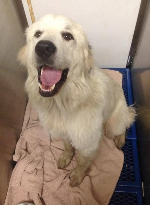 Mayflower Female Great Pyrenees Found 5 7 At Voulevard Vet