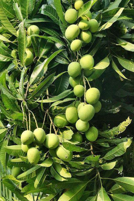 Free Wallpapers Green Mango Mango Tree Growing Tree Apple Tree