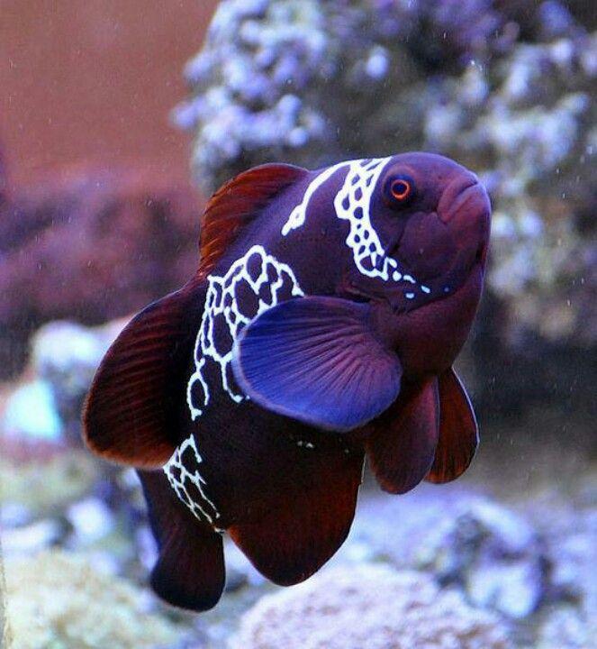 Lightning Maroon Clown Fish Beautiful Sea Creatures Tropical Fish Animals