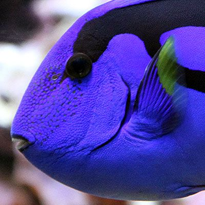 Pics For Baby Blue Tang Animali