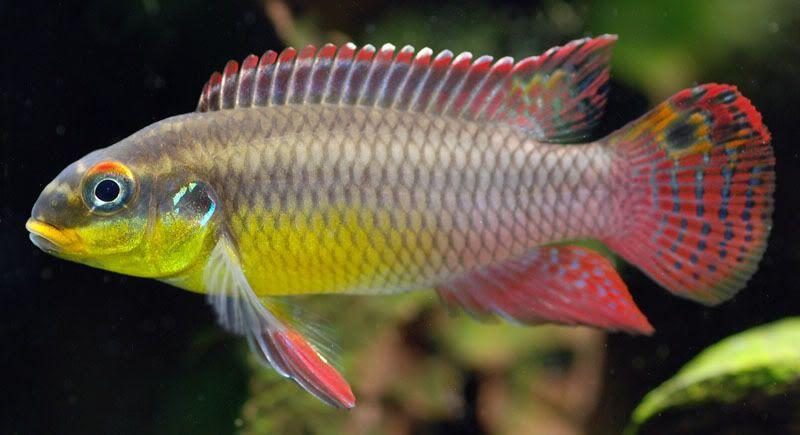Nigerian Red Kribensis Pelvicachromis Pulcher Aquarium Fish Cichlids Pet Fish