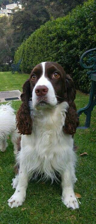 Pin By Judith Stock On Dogs English Springer Spaniel Springer Spaniel All Breeds Of Dogs