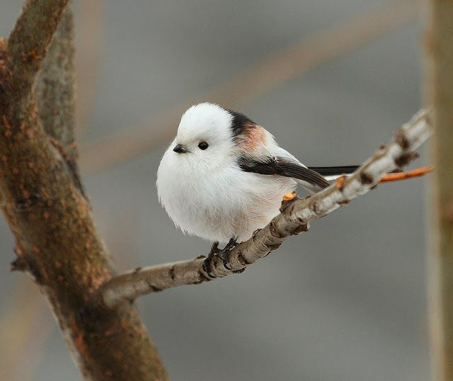 Korean crowtit