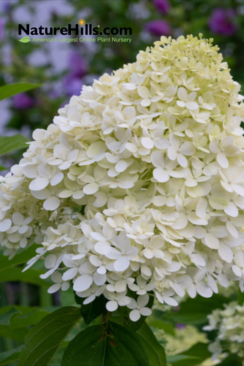 Bobo Hydrangea In 2020 Bobo Hydrangea Hydrangea Not Blooming Hydrangea Varieties