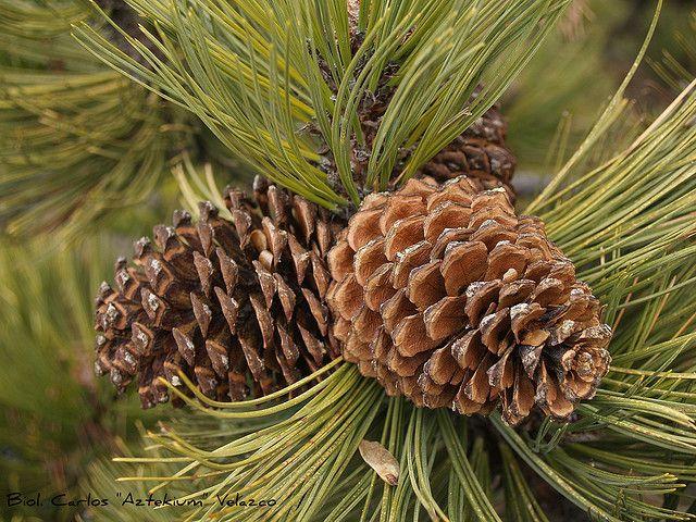 Pino Pino negro / de Hartweg (Pinus hartwegii) by * Hi Tech Bio *, a través de Flickr