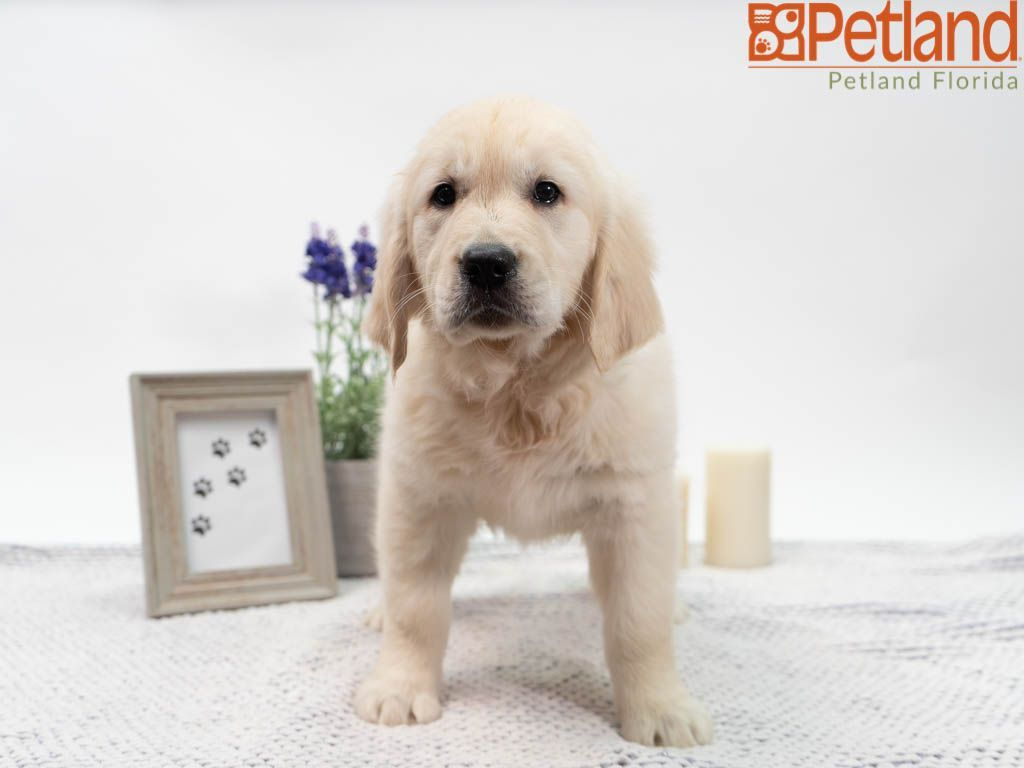 Petland Florida Has Golden Retriever Puppies For Sale Check Out