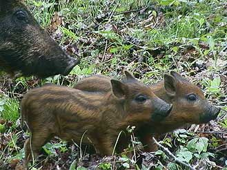 Pin by Peggy Bowers on Boars | Pinterest | Wild boar