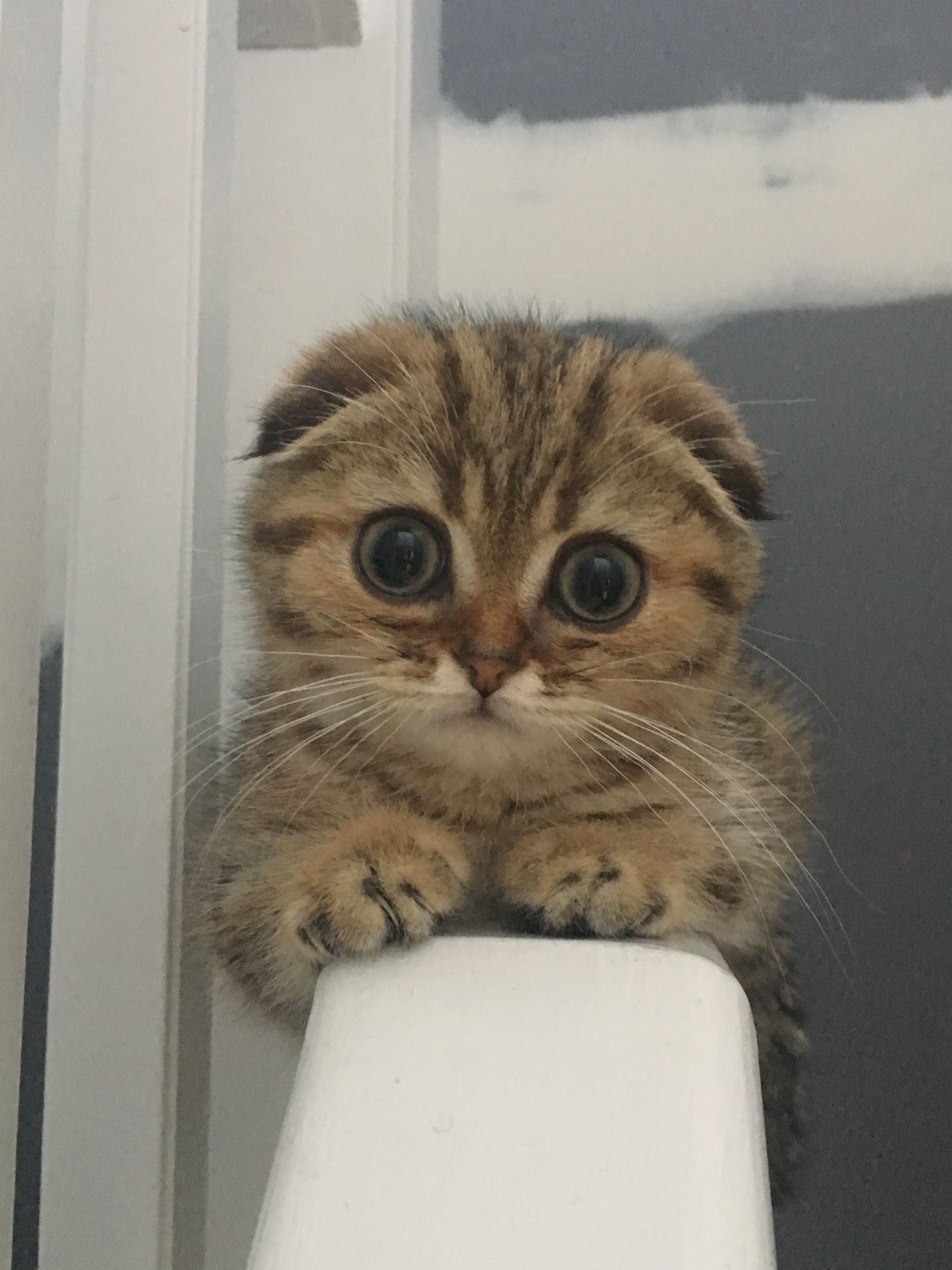 Scottish Fold Look At That Face 3 Scottish Fold Kittens