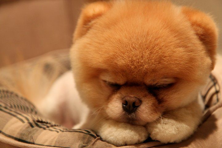 Fantastic Pomeranian Brown Adorable Dog - db782acc0cb76d554e592883f3743dc0  Collection_318795  .jpg