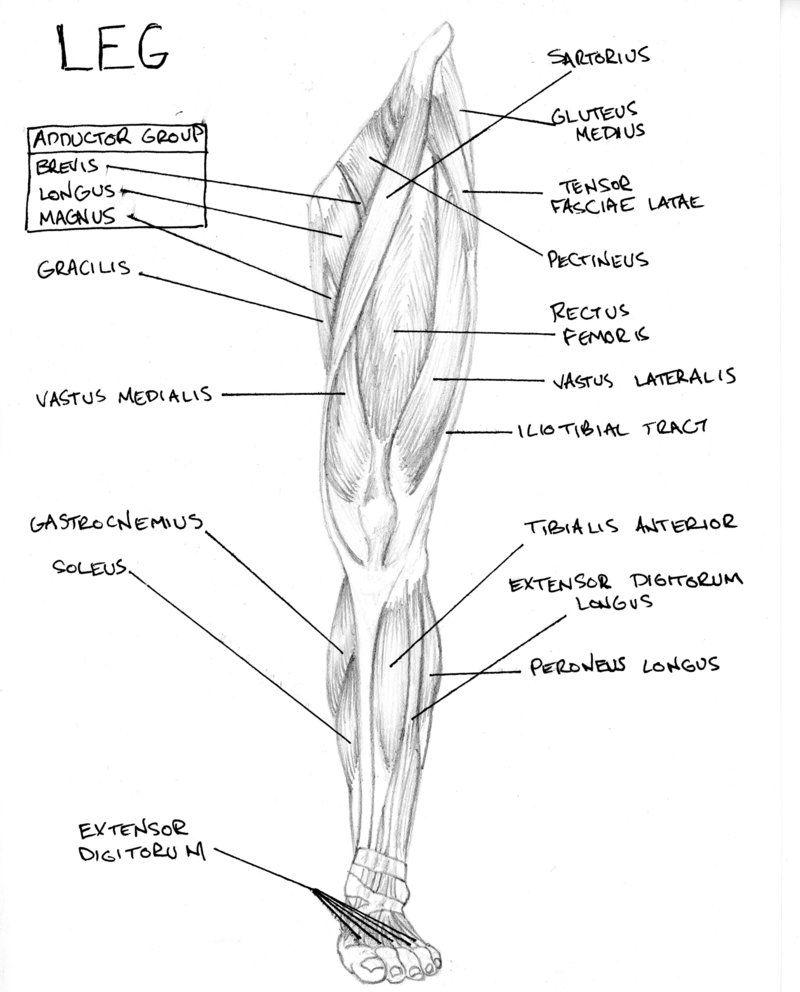 Muscle anatomy diagram leg leg muscles diagram 02g 800992 muscle anatomy diagram leg leg muscles diagram 02 pooptronica Gallery