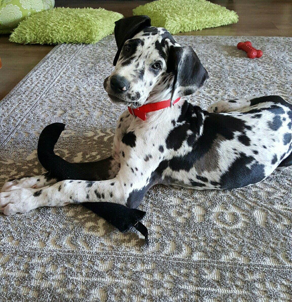 Harlequin Great Dane Puppy Dane Puppies Great Dane Dogs Great