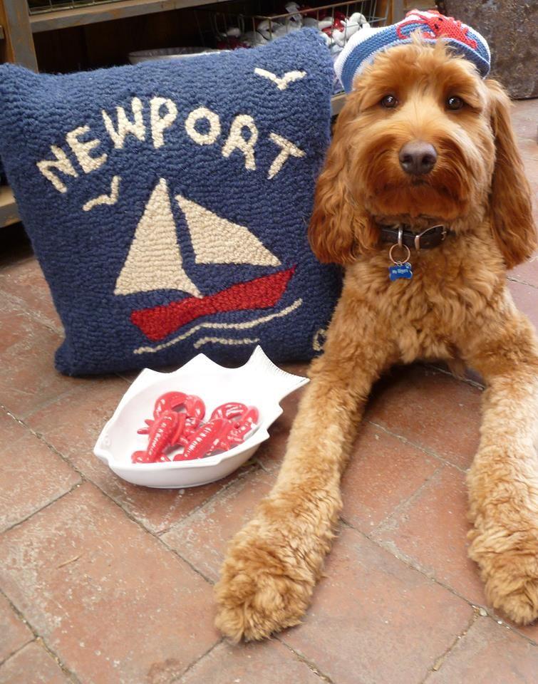 cute Patriotic pup {From Roger's Gardens} in Newport Beach