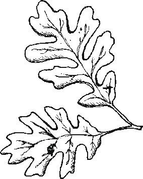Coloring Pages GardenOakLeaf Leaf Drawing Leaf