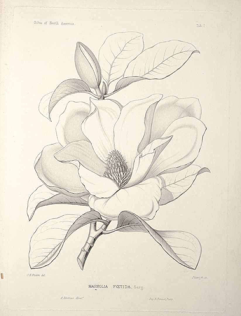 Pin By Stray Cat On Tattoo Flower Drawing Magnolia Tattoo Botanical Drawings