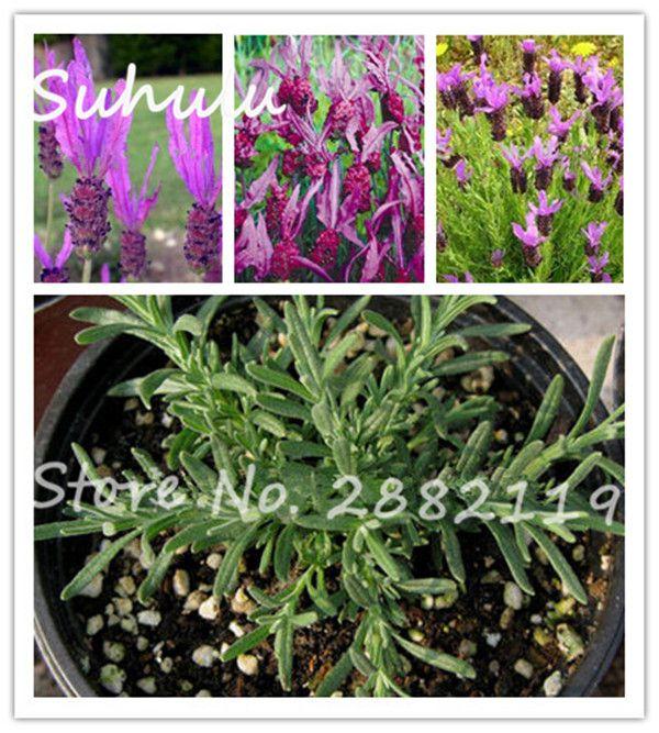 20seeds/bag Rare Beautiful Lavandula Pedunculata Seeds Indoor Bonsai Potted  Flower Plants Diy Home Garden