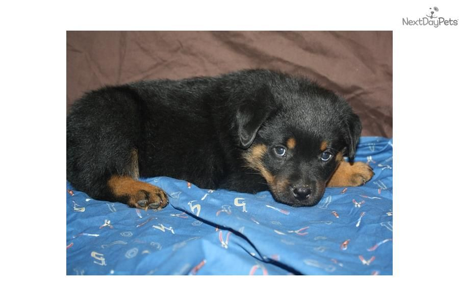 Meet Red Collar A Cute Rottweiler Puppy For Sale For 1 500 Sired