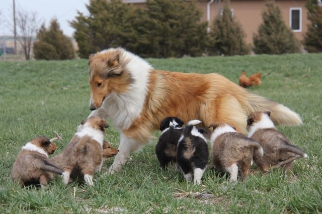 Akc Rough Collie Puppies Nex Tech Classifieds Rough Collie