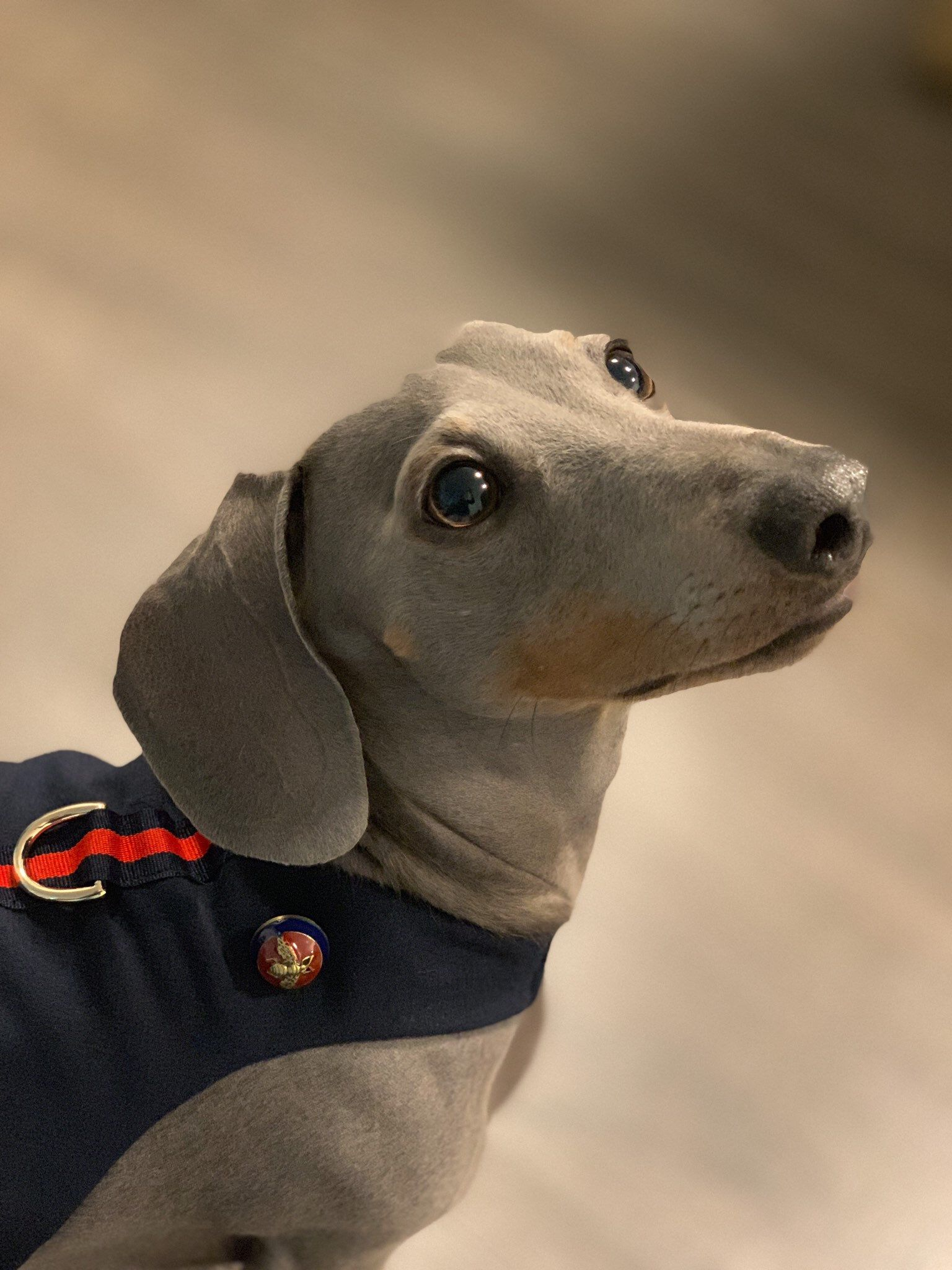 Gucci Inspired Dog Harness Navy Elastic Neck And Velcro Closure