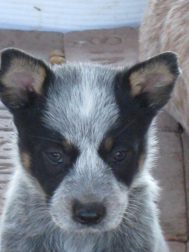 Blue & Red Heelers RioSpurRanch Cattle dogs rule