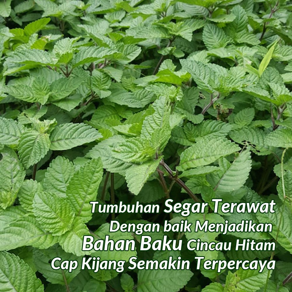 Supplier Daun Grass Jelly Hitam Jakarta Cincau Daun