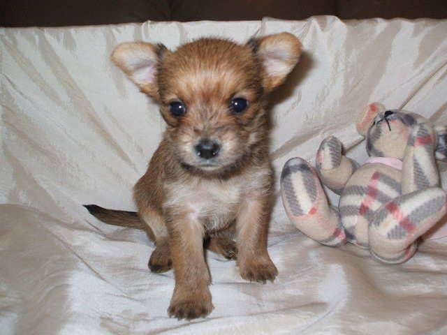 Chorkies For Sale Chinhuahua X Yorkie Chorkies For Sale Adoption